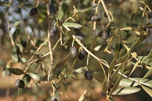olives at trullo solari