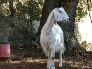 Goats at Trullo Solari